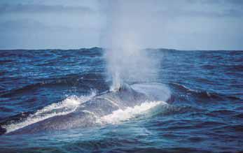 Por medio de proyecto CONICYT y con premio otorgado por ASL Environmental Science:  CEAZA aporta al estudio de la distribución espacial de ballenas y del kril en el sector de Isla Chañaral