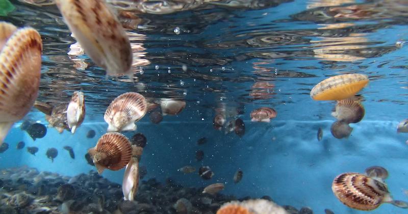 Nuevo estudio sugiere: Comunidades de organismos marinos de la costa de Coquimbo se han recuperado de alteraciones naturales pasadas y podrían recuperarse de perturbaciones humanas