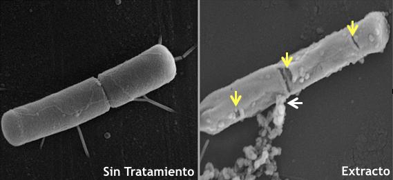 Identifican cinco compuestos vegetales antibióticos con potencial en enfermedades de peces