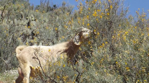 Estudio FIC-CEAZA: Un máximo de 300 mil cabezas de ganado caprino podría alimentar el forraje natural de la Región de Coquimbo