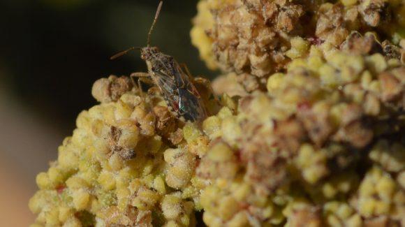 Centro Científico CEAZA identifica plagas de la quínoa en cultivo experimental