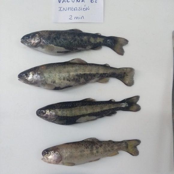 Red de investigadores chileno-peruana  Desarrollarán antibiótico natural para enfermedades de peces en Perú y Chile