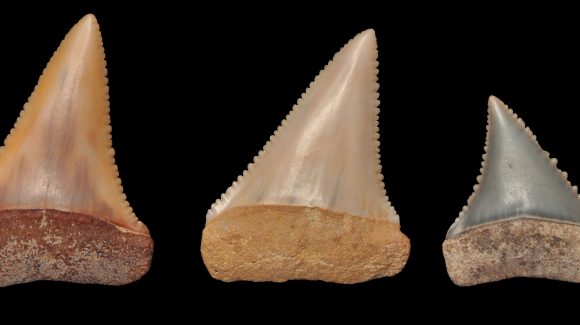 In Coquimbo, Chile: Scientists found the oldest known great white shark paleo-nursery