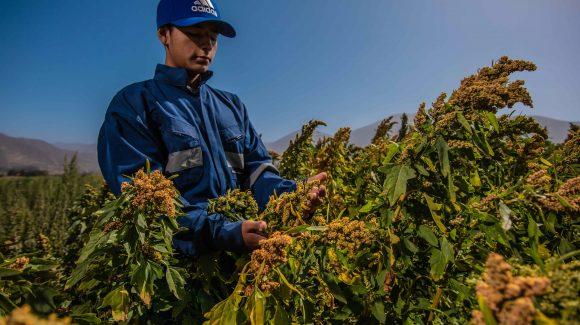 Estudian capacidad de adaptación de la quinua para crecer en suelos bajos en nutrientes