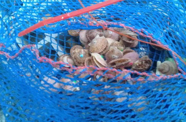 Surgencia en Tongoy: Procesos oceanográficos aportan alimento y arriesgan la supervivencia del ostión