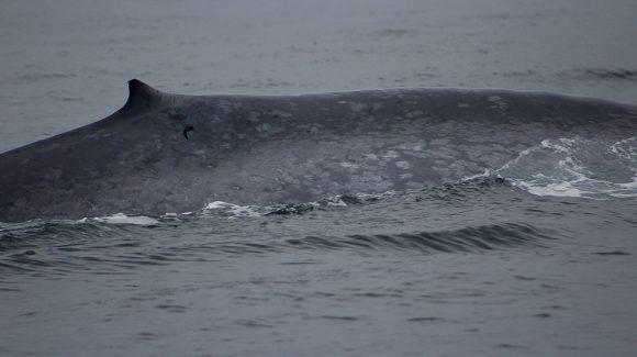 Confirman presencia de ballenas en Archipiélago Juan Fernández durante el invierno austral
