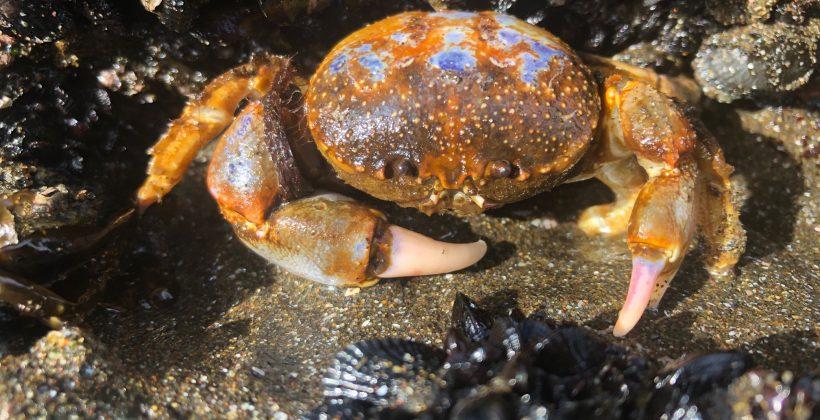 Con consecuencias en otros invertebrados marinos de la costa chilena: La acidificación y calentamiento del océano afectarían hábitos alimenticios del cangrejo de los mantos de choritos