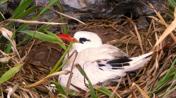 Estudio demuestra que pequeño islote de Rapa Nui es un importante refugio de aves marinas nativas