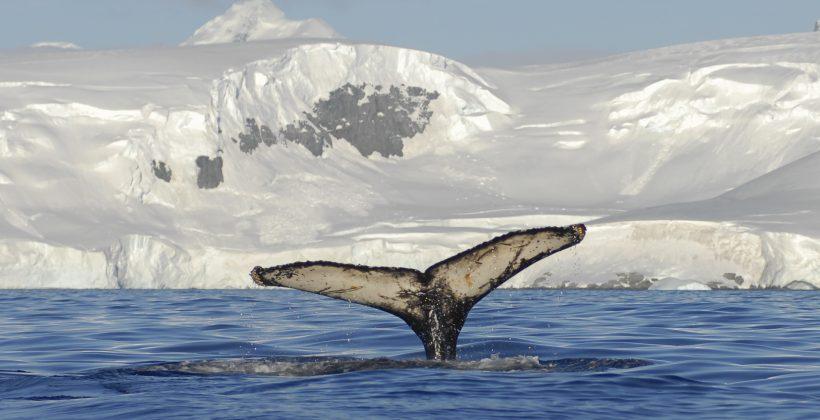 Análisis genético permite conocer másacerca de la migración de la ballena jorobada