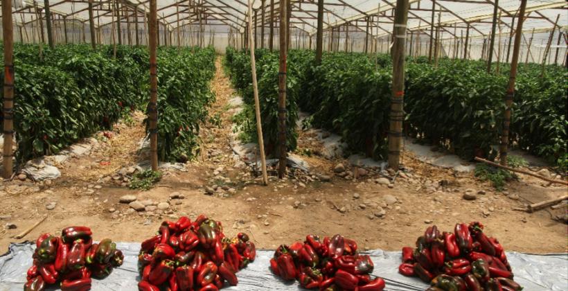 Utilizan microorganismos benéficos en hortalizas como estrategia de eficiencia productiva y de adaptación a escasez hídrica